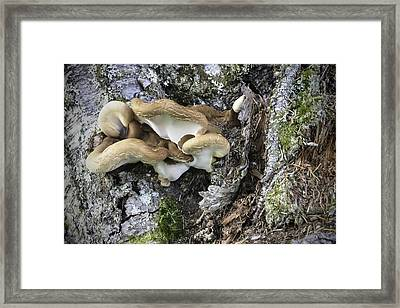 Cluster Of Fungi Framed Print by Phyllis Taylor