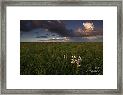 Cobaea Beardtongue Framed Print by Kenneth M. Highfill