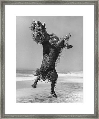 Cocker Spaniel Jumping Framed Print by Ylla