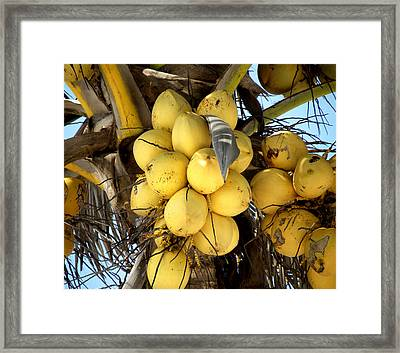 Coconuts Framed Print by Julie Palencia