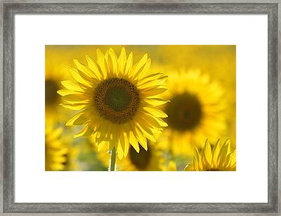 Colby Farms Sunflower Field Newbury Ma Yellow Framed Print by Toby McGuire