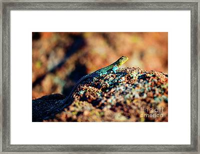 Collared Lizard Framed Print by Tamyra Ayles