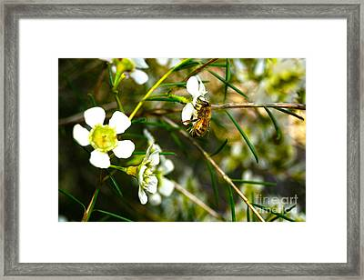 Collecting Pollen Framed Print by Cassandra Buckley