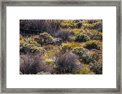Colorado Coyote Framed Print by Paul Freidlund
