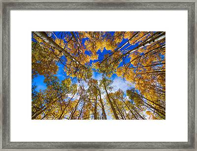 Colorful Aspen Forest Canopy  Framed Print by James BO  Insogna