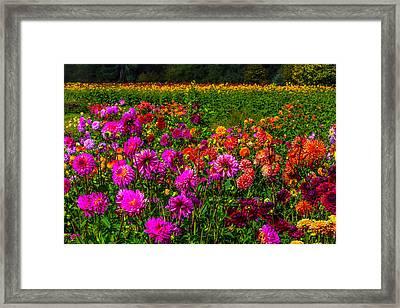 Colorful Dahlias Oregon Framed Print by Garry Gay