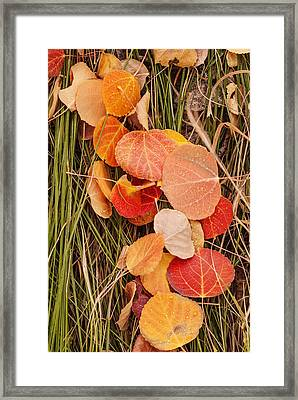 Colorful Fallen Aspen Leaves During Autumn Framed Print by Vishwanath Bhat