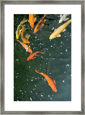 Colorful Fishes And Floating Petals Framed Print by Lawren