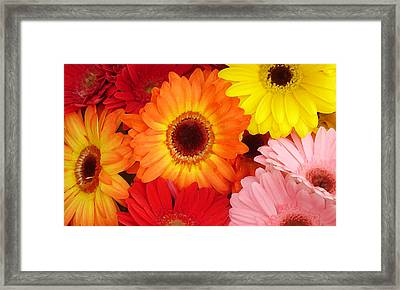 Colorful Gerber Daisies Framed Print by Amy Vangsgard