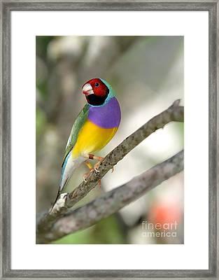 Colorful Gouldian Finch Framed Print by Sabrina L Ryan