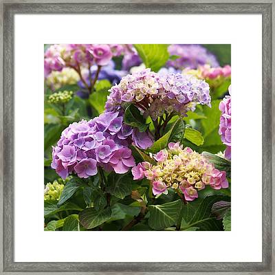 Colorful Hydrangea Blossoms Framed Print by Rona Black