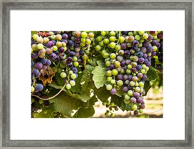 Colorful Red Wine Grape Framed Print by Teri Virbickis