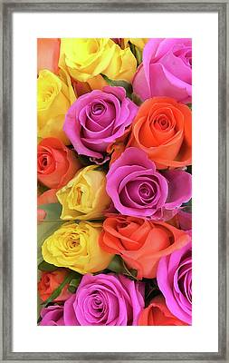 Colorful Roses Framed Print by Tom Gowanlock