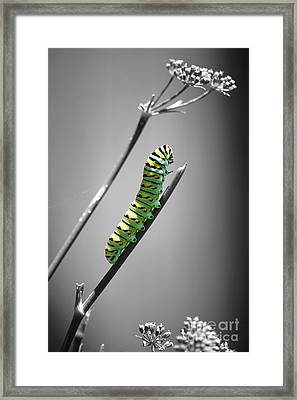 Colorful Striped Caterpillar Closeup Macro Color Splash Black And White Framed Print by Shawn O'Brien