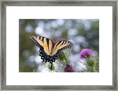 Colorful Tiger Swallowtail Butterfly Framed Print by Lori Coleman