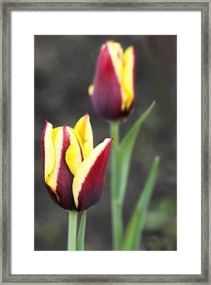 Colorful Tulips In The Meadow In Spring Day Framed Print by George Westermak