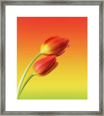 Colorful Tulips Framed Print by Wim Lanclus