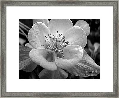 Columbine Framed Print by Amanda Barcon