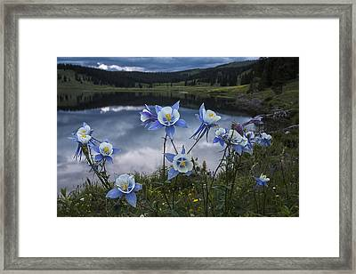 Columbine Blooms In The Rocky Mountains Framed Print by Dave Dilli