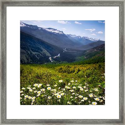 Coming Up Daisies Framed Print by Renee Sullivan