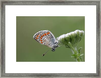 Common Blue Sitting On A Flower In The Pirin Mountains In Bulgaria Framed Print by Ronald Jansen