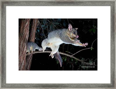 Common Brushtail Possum Framed Print by B.G. Thomson