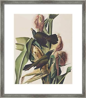 Common Crow Framed Print by John James Audubon