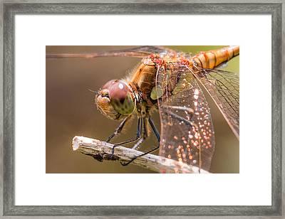 Common Darter Framed Print by Ian Hufton