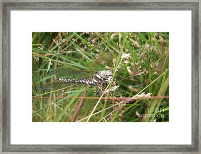 Common Hawker In Hiding Framed Print by Justin Farrimond