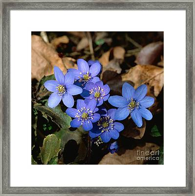 Common Hepatica Framed Print by Erich Geduldig/Naturbild