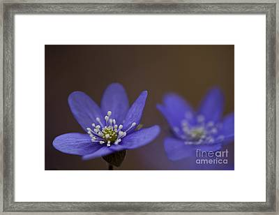 Common Hepatica Flowers Framed Print by Per-Olov Eriksson