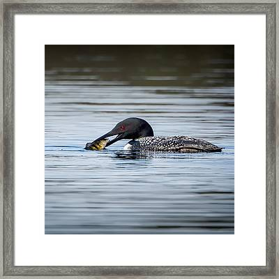 Common Loon Square Framed Print by Bill Wakeley