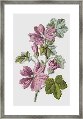 Common Mallow Framed Print by Frederick Edward Hulme