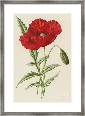 Common Poppy Framed Print by Frederick Edward Hulme