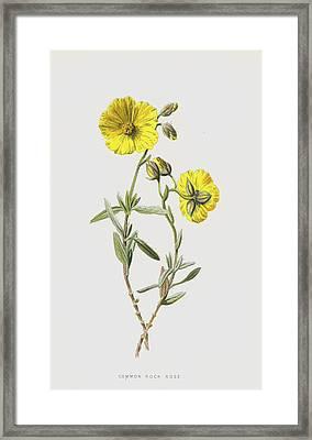 Common Rock Rose Framed Print by Frederick Edward Hulme