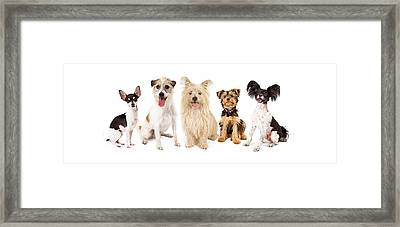 Common Small Breed Dogs Framed Print by Susan Schmitz