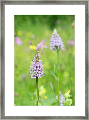 Common Spotted Orchid Framed Print by Tim Gainey
