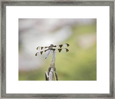 Common Whitetail Skimmer Framed Print by Becca Buecher