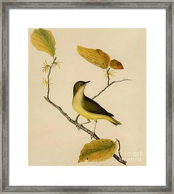 Connecticut Warbler Framed Print by Celestial Images
