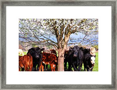 Cool Cows Framed Print by Kelly Reber
