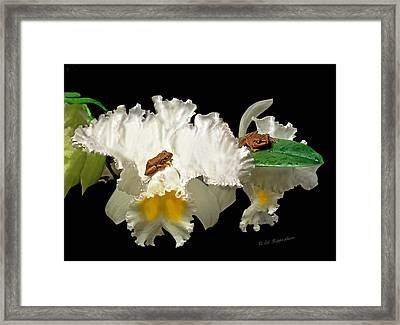 Coqui Frogs On Orchid In Puerto Rico-file #001 Framed Print by Ed Hoppe