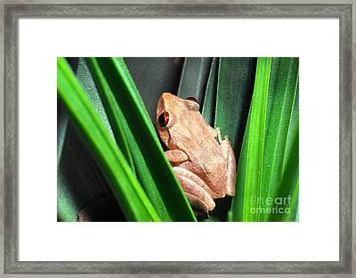 Coqui In Bromeliad Framed Print by Thomas R Fletcher