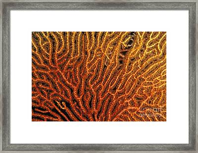 Coral Sea Fan Framed Print by Ed Robinson - Printscapes