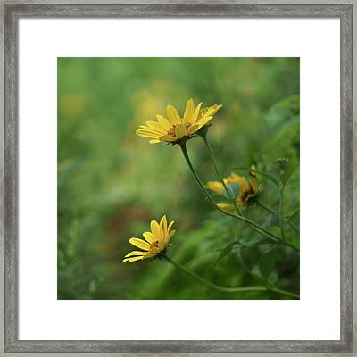 Coreopsis - Bokeh Framed Print by Nikolyn McDonald