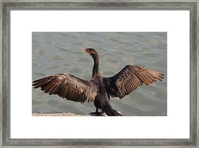 Cormorant1 Framed Print by Todd Sherlock