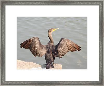 Cormorant 2 Framed Print by Todd Sherlock