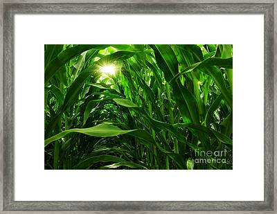 Corn Field Framed Print by Carlos Caetano
