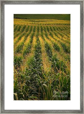 Corn Field Framed Print by Gaspar Avila