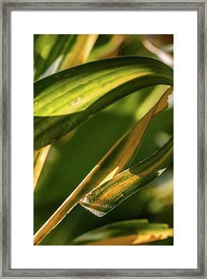 Corn Leaves Nr. 1 Framed Print by Mah FineArt
