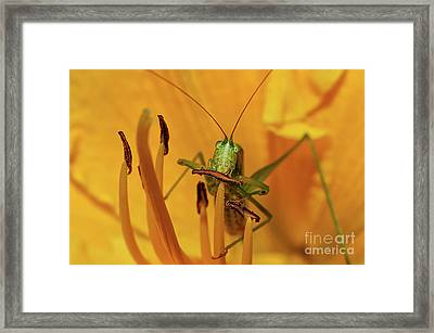 Corn On The Cob Framed Print by Lois Bryan